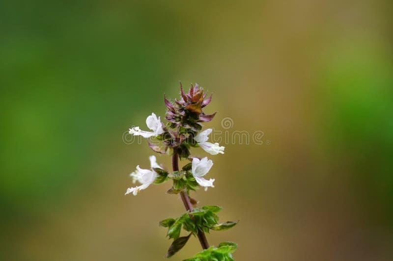 Базилик со своими белыми цветками в саде стоковое фото rf