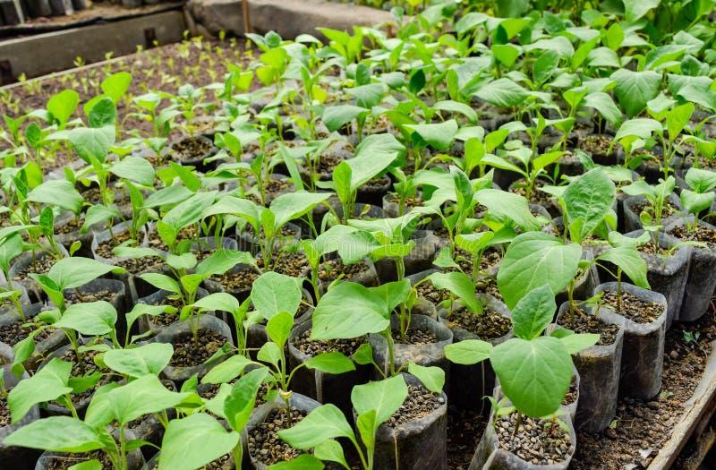 Баклажан саженцев в парнике Растя баклажан овощей внутри стоковые изображения