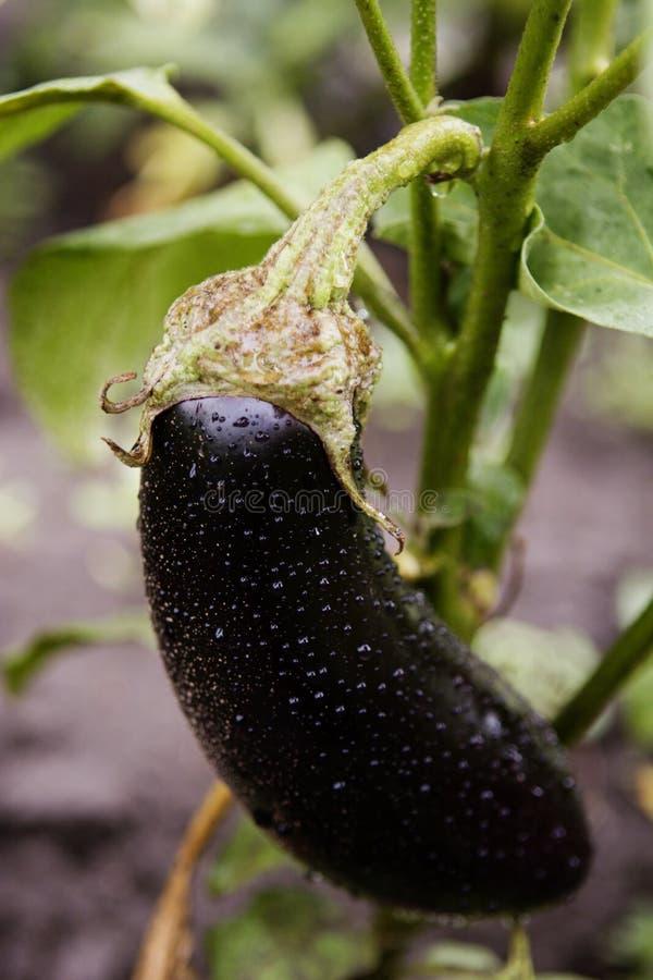 баклажан свежее одно aubergine стоковая фотография