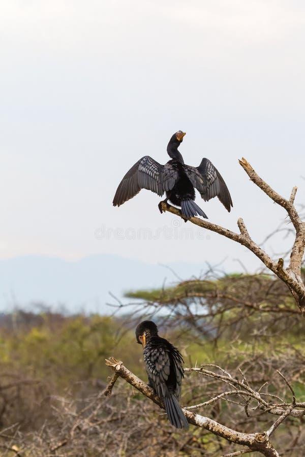 2 баклана на ветви Озеро Baringo, Кения стоковая фотография