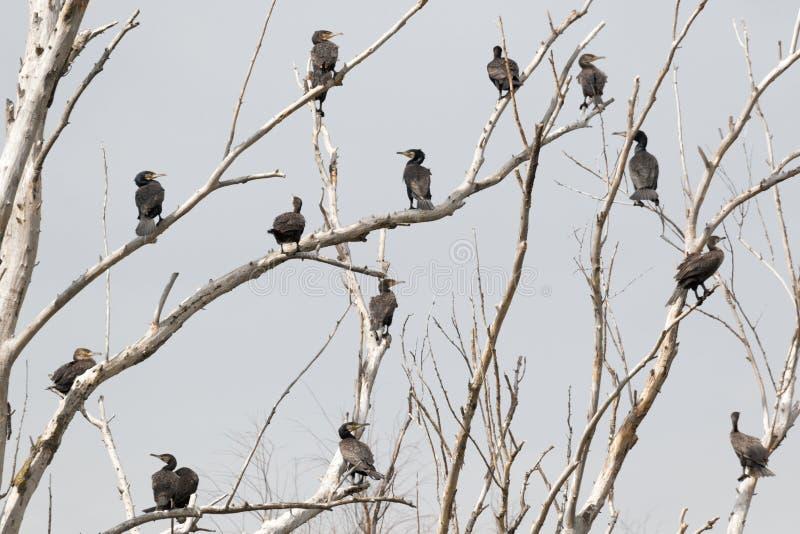 Бакланы, эта группа в составе перелётные птицы принимают пролом на деревьях стоковые фотографии rf