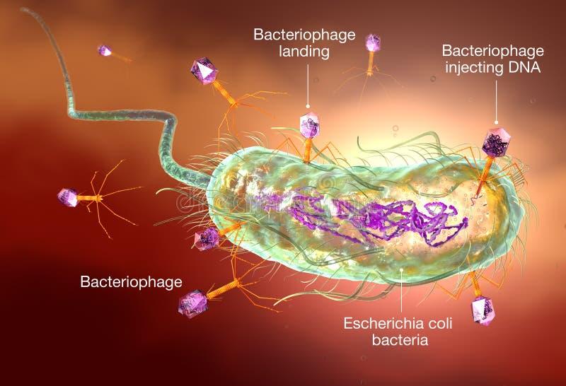 Бактериофаг атакуя e бактерии coli Медицински точная обозначенная иллюстрация 3D, бесплатная иллюстрация