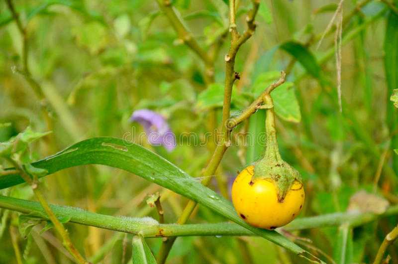 Баклажан земледелия желтый тайский стоковая фотография rf