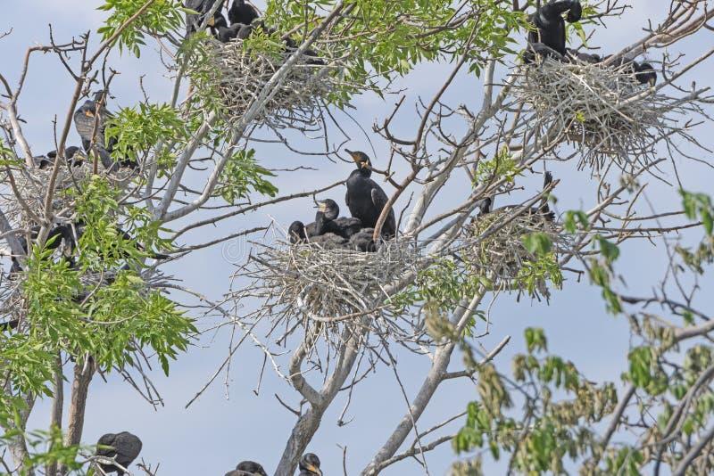 Бакланы Crested двойником в дереве вложенности стоковое изображение rf
