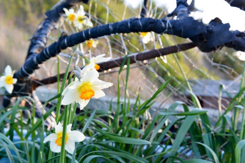 Бак краба при daffodils растя из его стоковое изображение rf
