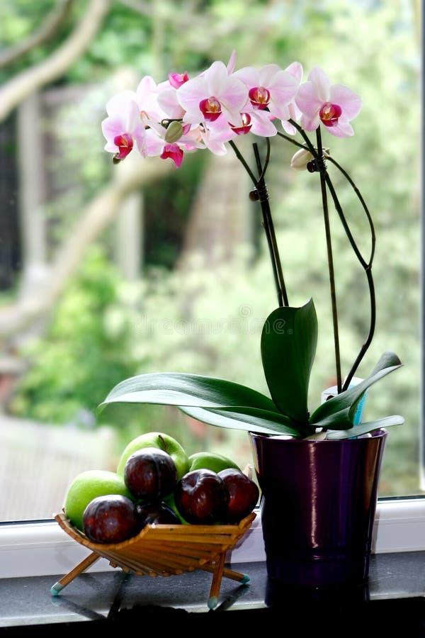 бак орхидеи сумеречницы стоковое фото rf