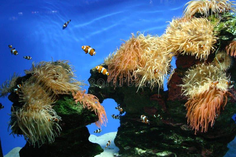 бак рыб клоуна стоковое изображение rf