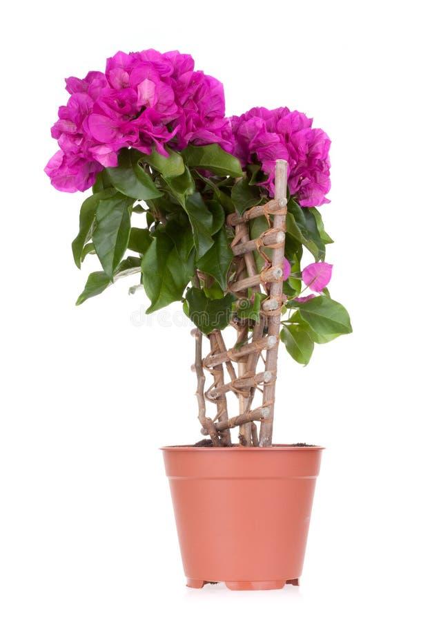 бак цветков цветка бугинвилии стоковое изображение