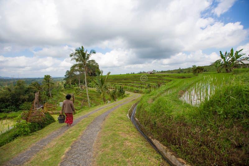 Балийская женщина идет вдоль террас риса Бали, Индонезии стоковые фотографии rf