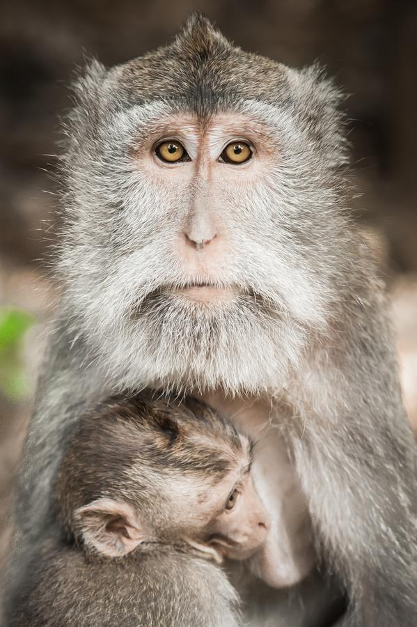 Балийское macague monkeys подавать ее младенец на священных передних частях обезьяны стоковые изображения