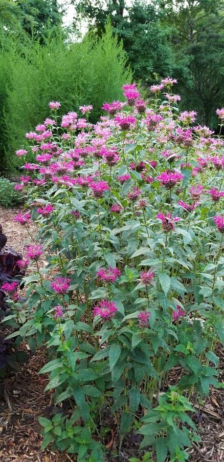Бальзам пчелы Heirloom - дикий бергамот - цветки зацветая в массе стоковые изображения