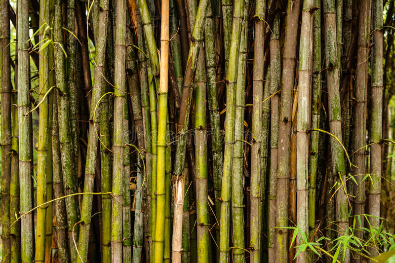 Бамбуки и бамбуки стоковое фото