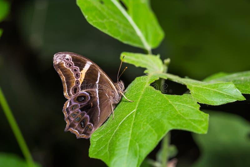 Бамбуковая бабочка Европы Treebrown Lethe стоковая фотография rf