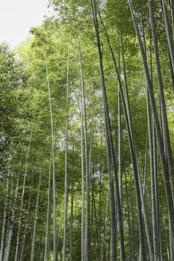 Бамбуковая листва Arashiyama Япония леса стоковое фото rf