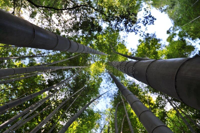Бамбуковые деревья в Киото, Японии стоковое изображение rf