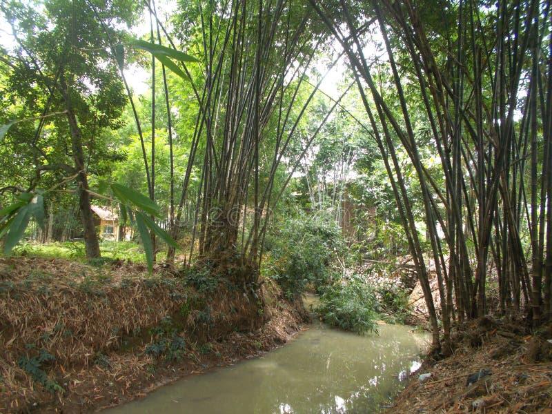 Бамбуковые деревья и небольшое река на деревне стоковые фото