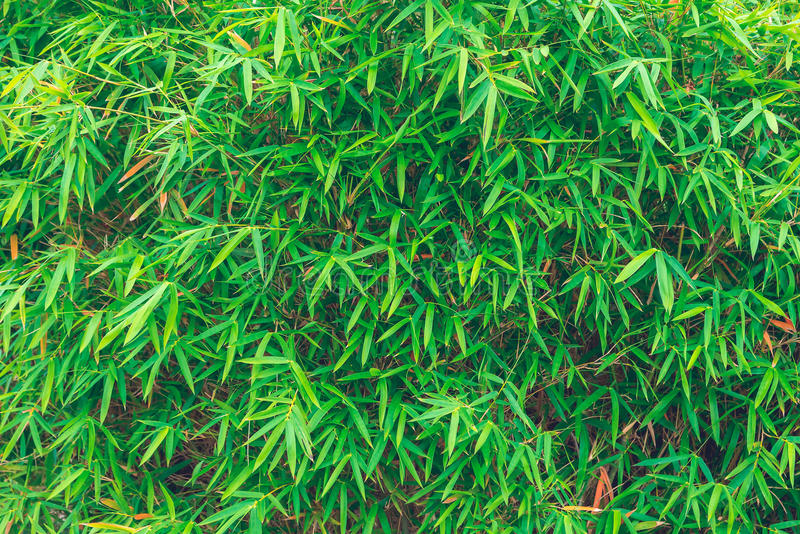Бамбуковые листья, зеленые лист стоковые изображения rf