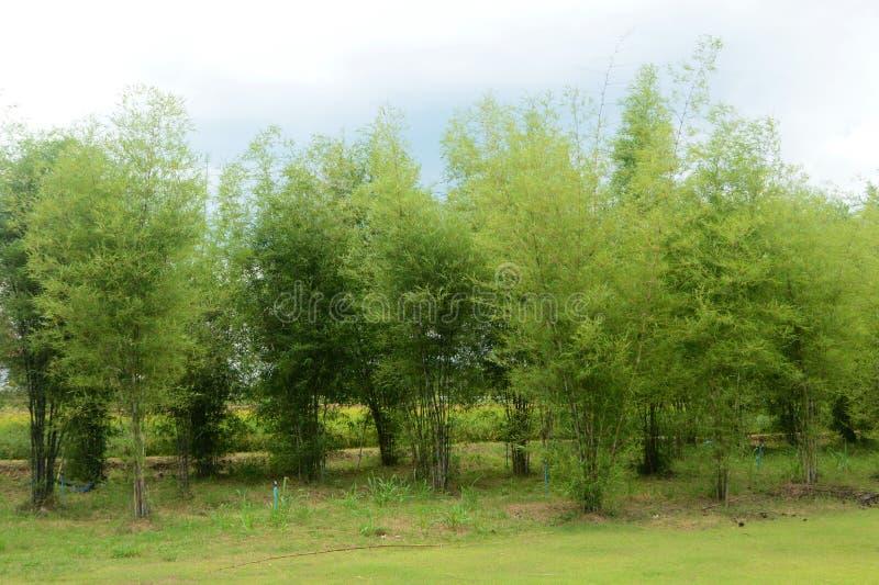 Бамбуковые плантации стоковые изображения rf