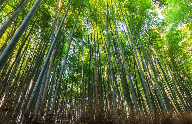 Бамбуковые рощи, бамбуковый лес на Arashiyama стоковая фотография