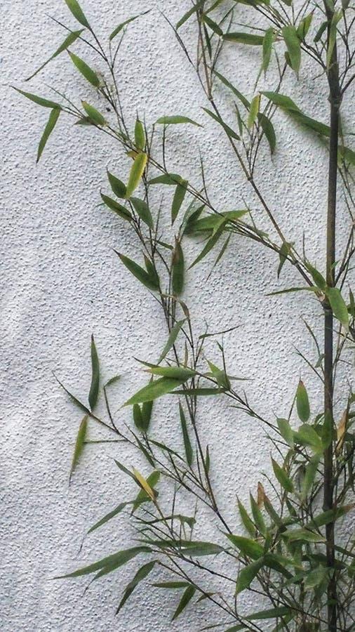 Бамбуковые тростники против белой стены стоковые фотографии rf