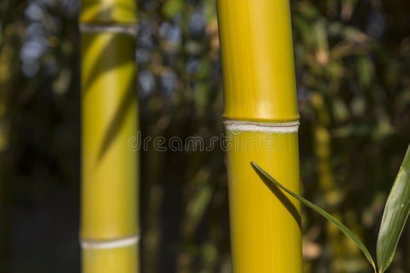 Бамбуковые тростники стоковая фотография