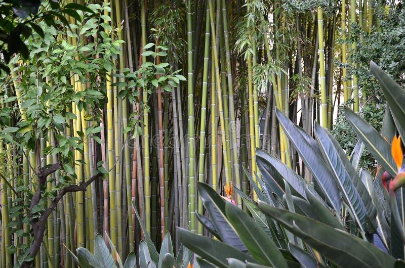 Бамбуковый лес в фото зеленого цвета природного парка стоковые изображения