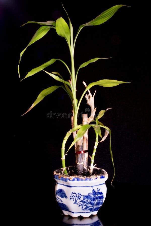 Бамбуковый завод стоковое изображение rf