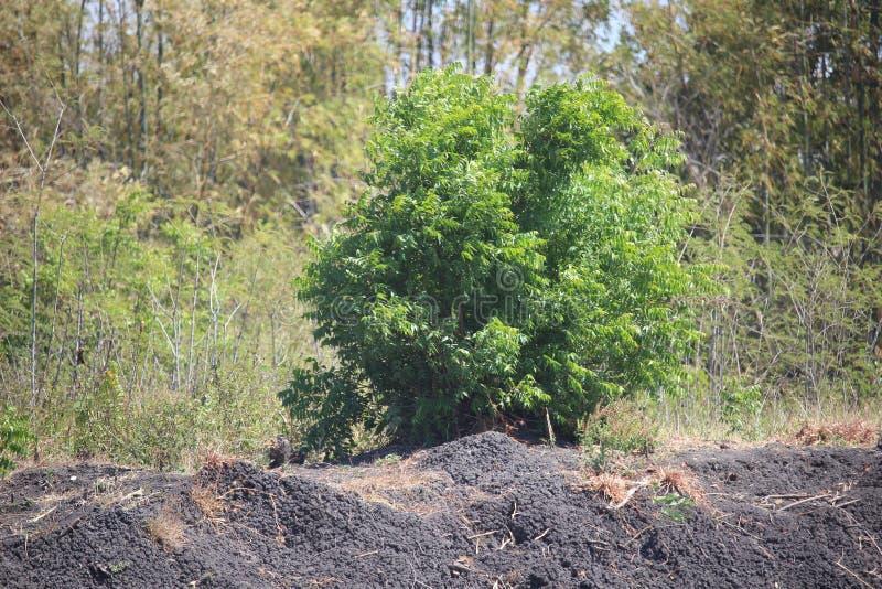 Бамбуковый лес в городе probolinggo, Индонезии стоковое фото