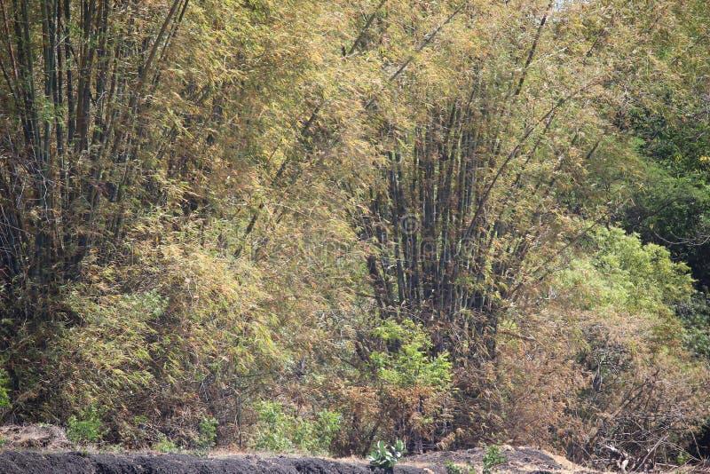 Бамбуковый лес в городе probolinggo, Индонезии стоковые изображения