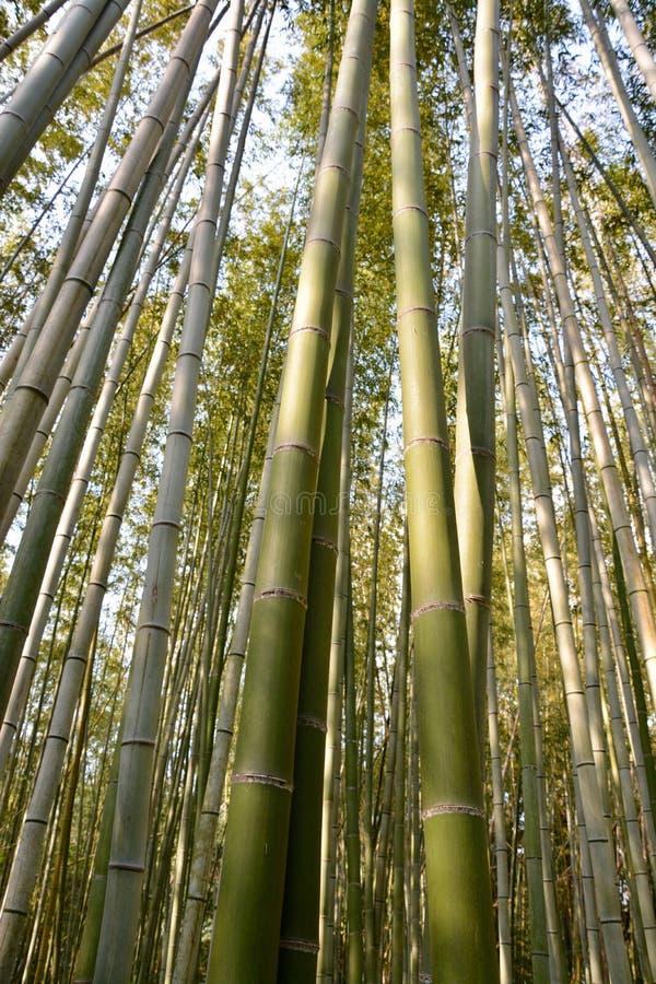 Бамбуковый лес Киото Япония стоковое фото rf