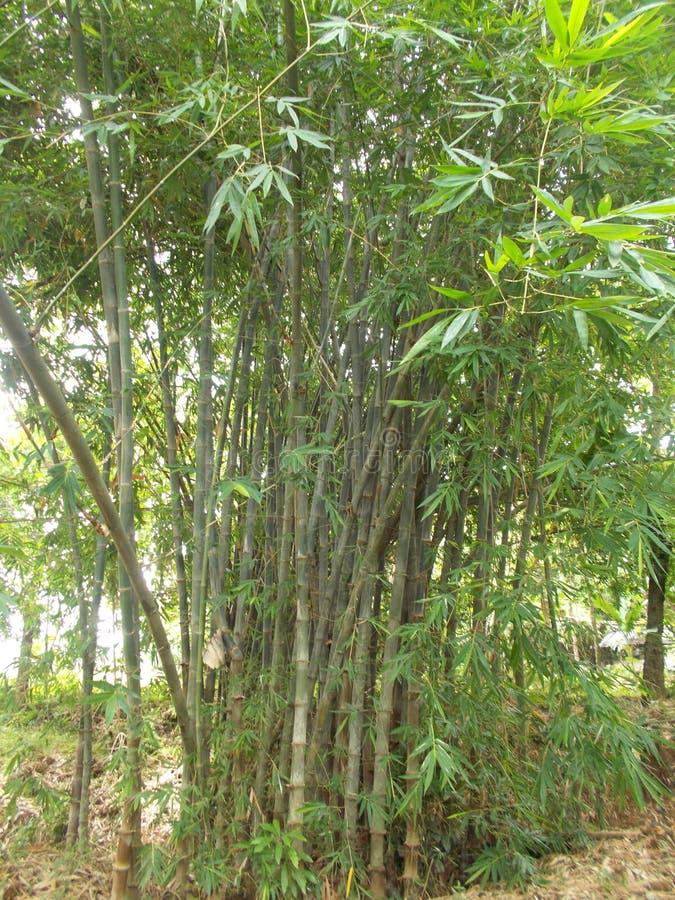 Бамбуковый лес на моей деревне стоковое изображение