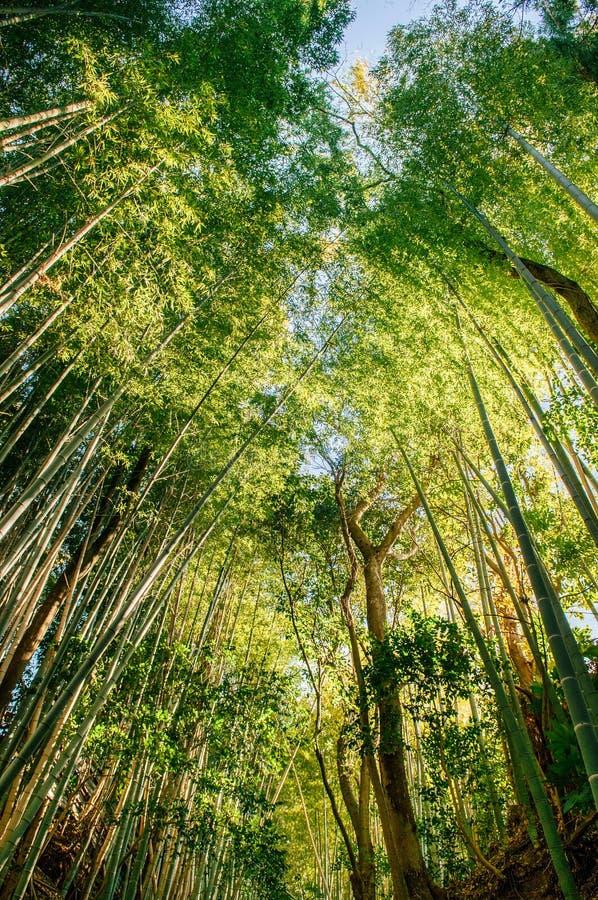 Бамбуковый лес снял против неба, города Сакуры, Chiba, Японии стоковая фотография