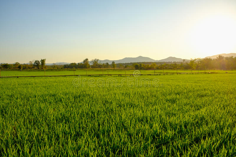 Бамбуковый мост в рисовых полях, заход солнца стоковое фото rf