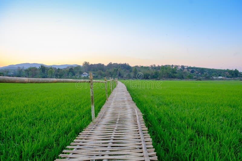 Бамбуковый мост в рисовых полях стоковая фотография