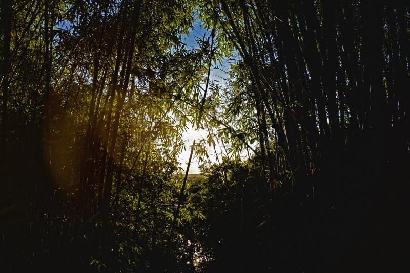 Бамбуковый световой луч силуэта лист Бразилии завода леса стоковые фото