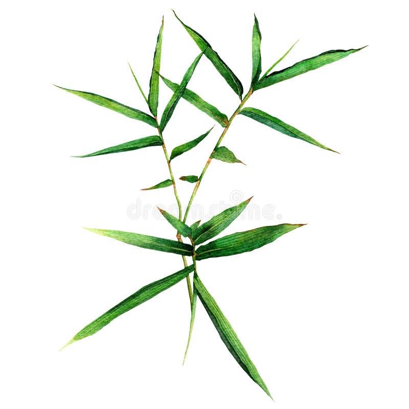 Бамбук акварели крася, зеленый плющ листьев изолированный на белой предпосылке Иллюстрация акварели покрашенная рукой зеленая кар бесплатная иллюстрация