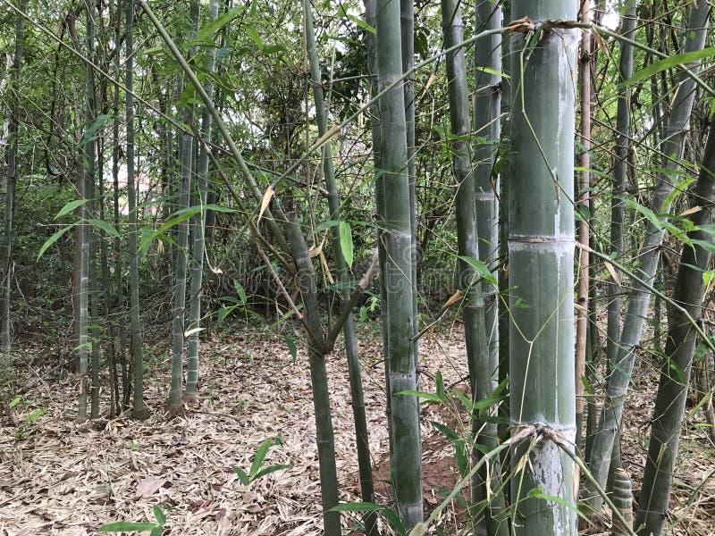 Бамбук в лесе стоковая фотография