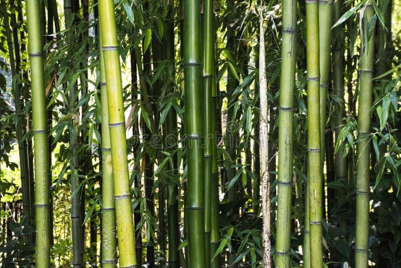 Бамбук forrest стоковое изображение