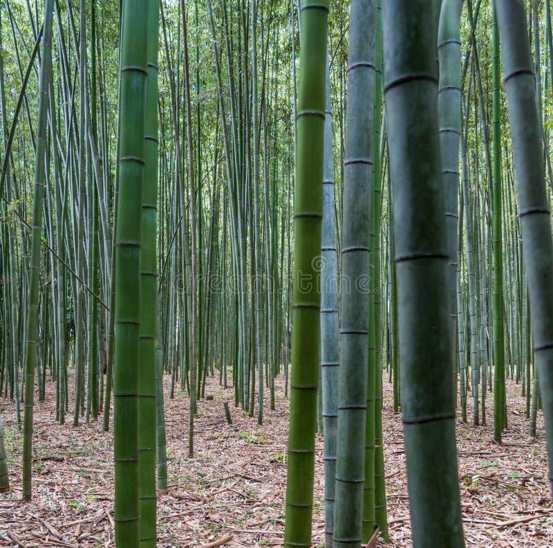 Бамбук forrest стоковые изображения
