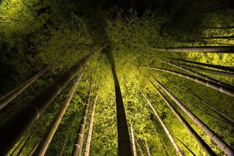 Бамбук Kodaiji осветил вечером стоковое изображение