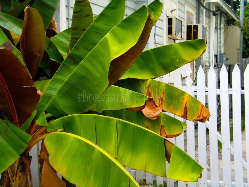 Банановое дерево вне частокола в районе Key West стоковое фото