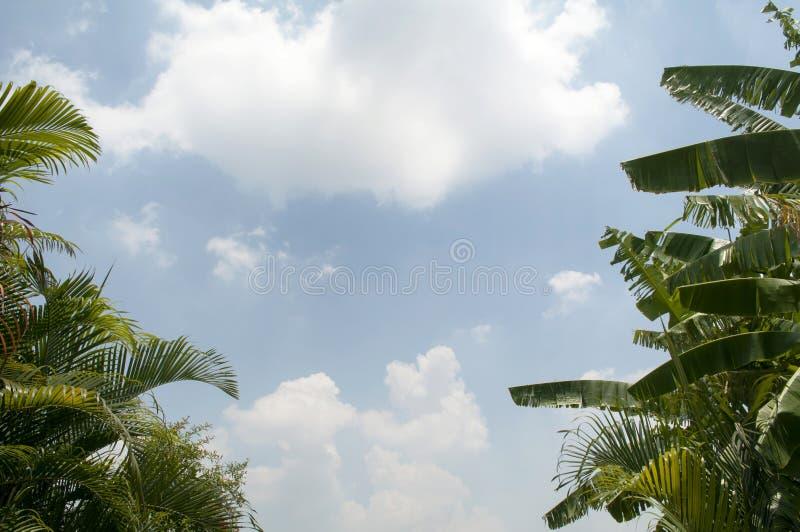 Банановое дерево пальмы и на предпосылке голубого неба Имейте космос экземпляра стоковое изображение rf