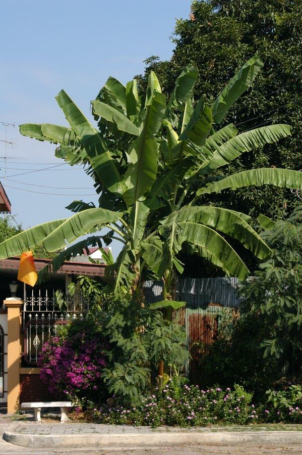 Download банановое дерево стоковое фото. изображение насчитывающей приложение - 479626