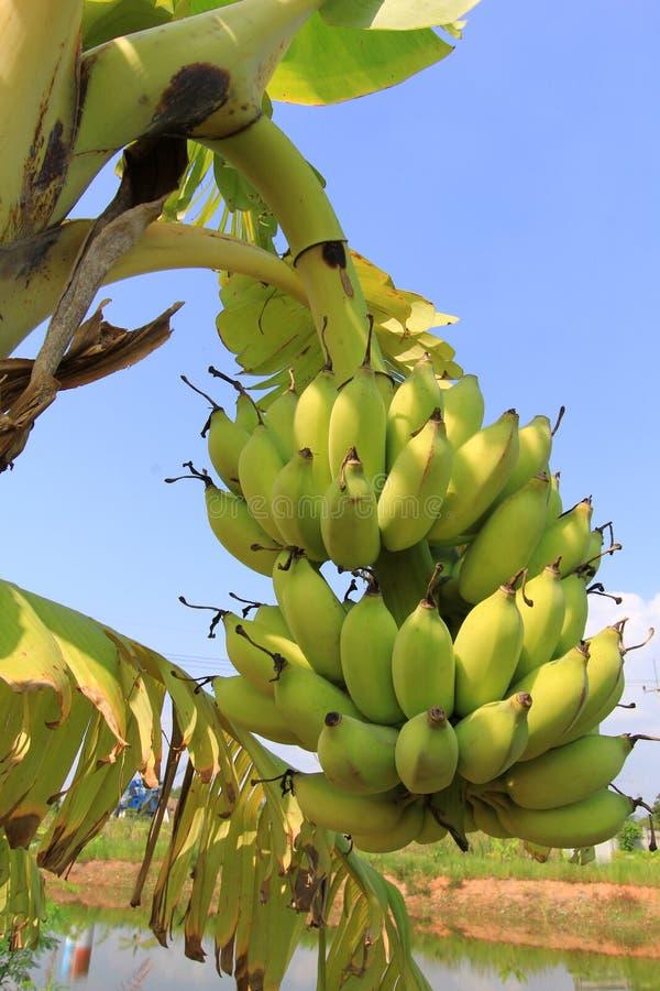 Банановое дерево с пуком бананов стоковые изображения rf