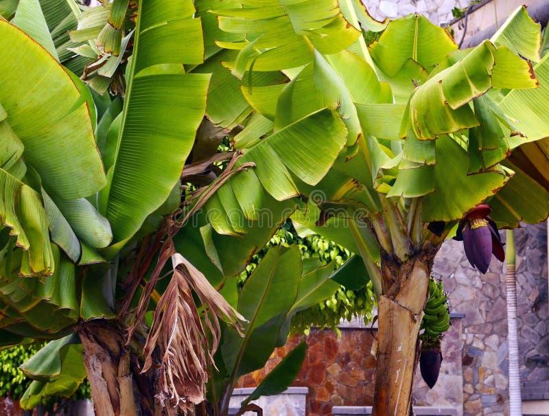 Банановые дерева в саде на Тенерифе, Канарских островах, Испании стоковое фото