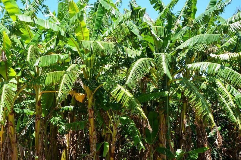 Банановые дерева в долине Vinales, Кубе стоковое изображение