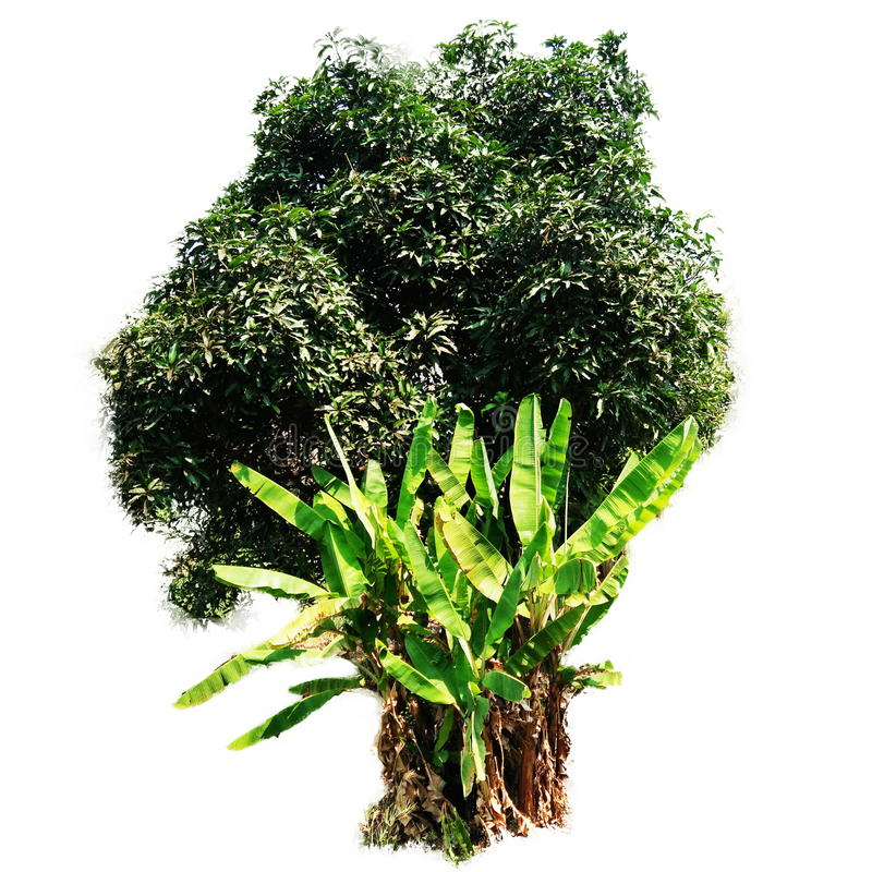 Банановые дерева манго и стоковое изображение rf
