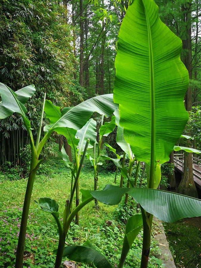 Банановые дерева стоковая фотография rf