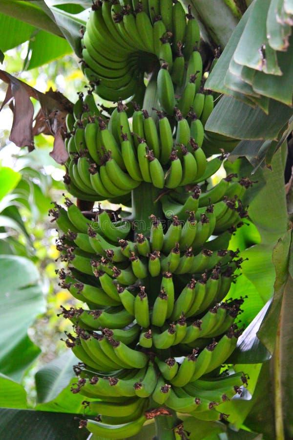 Бананы растя на банановом дереве стоковые фотографии rf