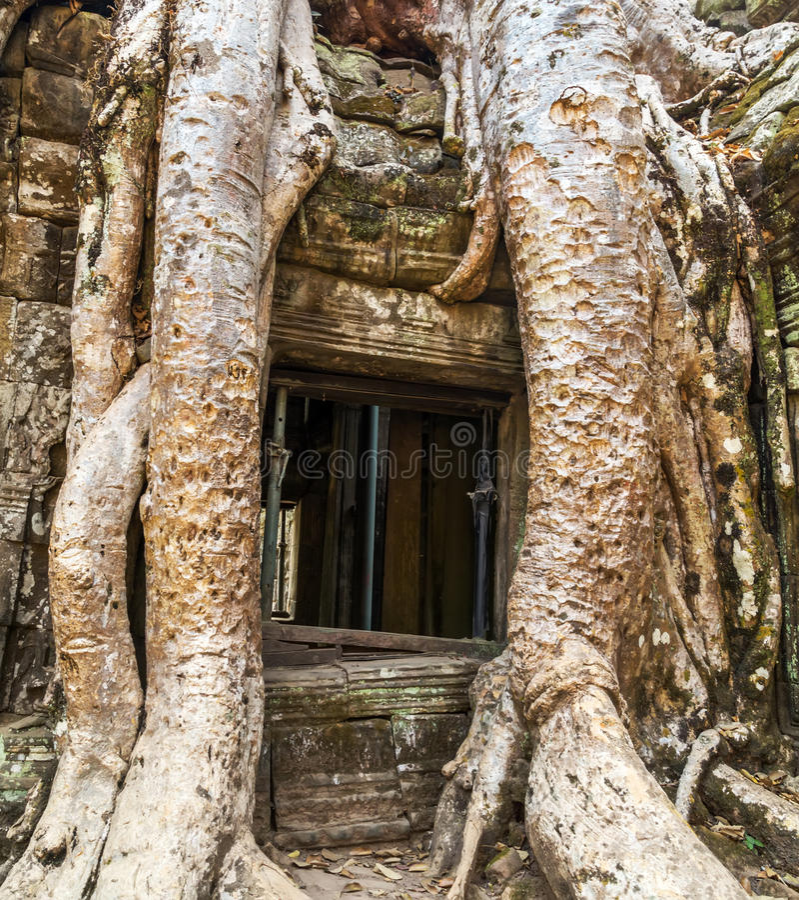 Баньян в животиках Prohm руин, Камбодже стоковые фотографии rf